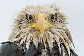 Confused bald eagle