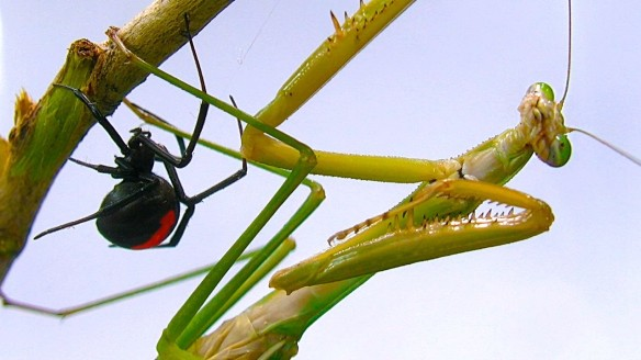 Praying Mantis and Spider
