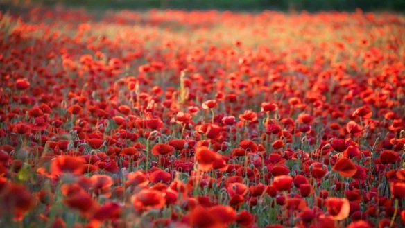 Armistice-Day-Poppy-Field